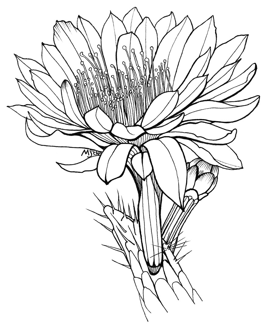 Organ Pipes Drawing Organ Pipe Cactus With Flower